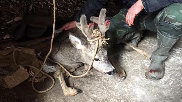 Köpeklerin yaraladığı karaca tedaviye alındı
