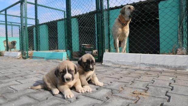 Aksaray Belediyesinden Malaklı Köpeği çiftilği