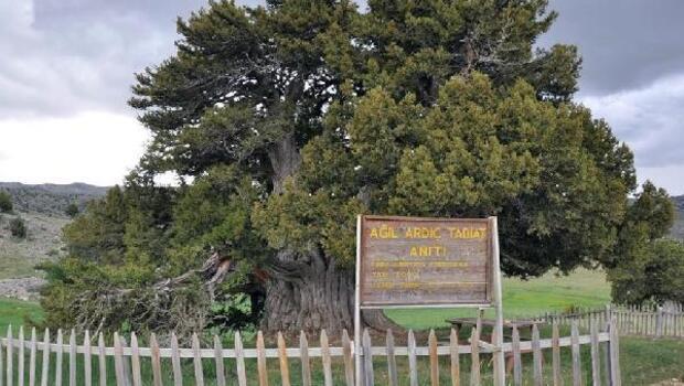 2 bin yıllık anıt ağaç