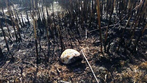 Arazi yandı, kaplumbağa telef oldu