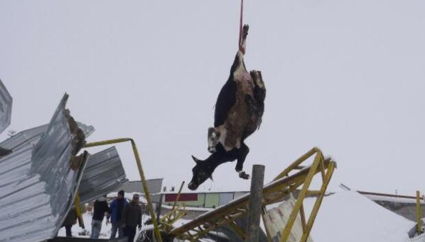 Aksaray'da kar nedeniyle 2 mandıranın çatısı çöktü: 20 inek telef oldu