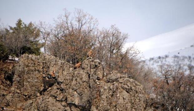Tedavi edilen karaakbaba, Tuncelide doğaya bırakıldı