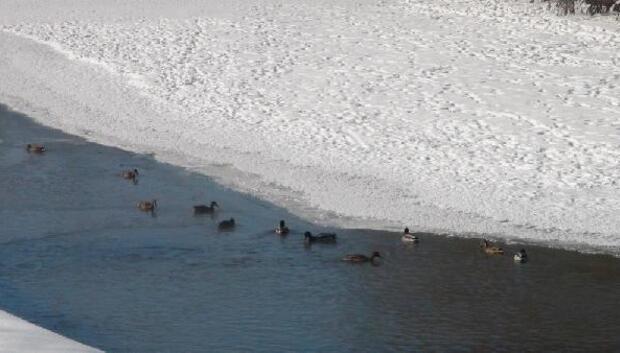 Göç yolundaki ördekler için Kars Çayı kenarına yem bırakıldı