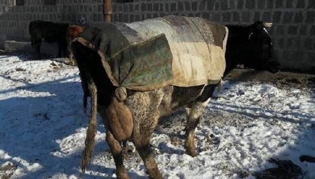 Hayvanlarını soğuktan eski elbiseleriyle koruyor