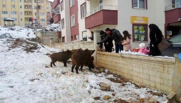 Tuncelide mahalleye inen yaban domuzlarını besliyorlar
