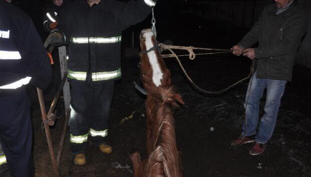 Foseptiğe düşen yarış atını itfaiye kurtardı