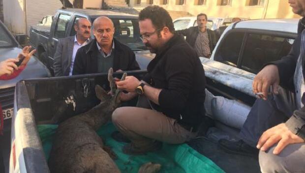 Yaralı karaca, tedavi için Kars'a gönderildi