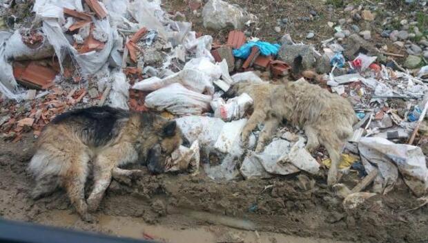 Tirebolu'da belediye köpekleri zehirledi iddiası