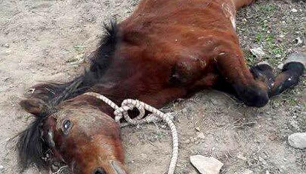 Bitkin halde bulunan at tedavi edildi