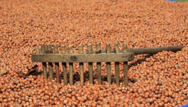 Fındık üreticisi Cumhurbaşkanı'ndan müjde bekliyor