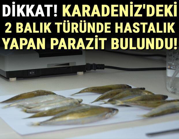Merkez Haberleri: Karadenizdeki 2 balık türünde hastalık yapan parazit tespit edildi 98
