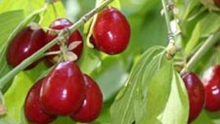 Kızılcık C vitamini deposu