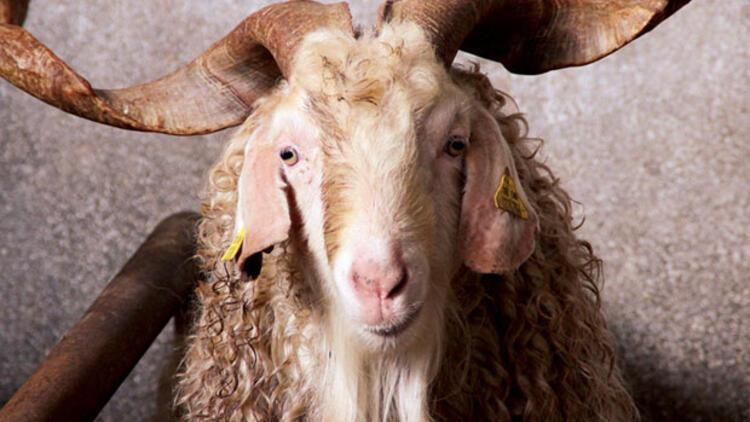 Türkiyenin ilk keçi sperm bankası kuruldu 64
