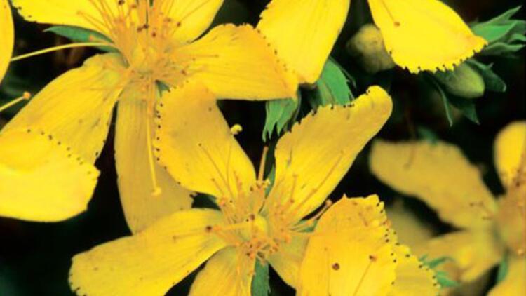 Sarı Kantaronun Faydaları Sarı Kantaron Yağı Nasıl Yapılır Son