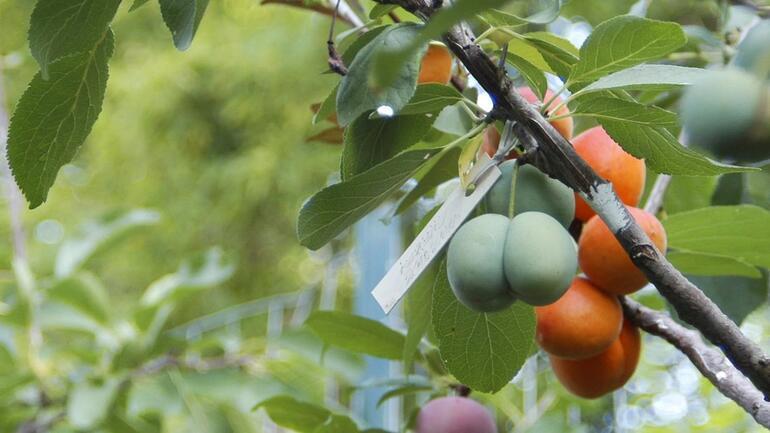 Bu ağaç 40 farklı meyve veriyor