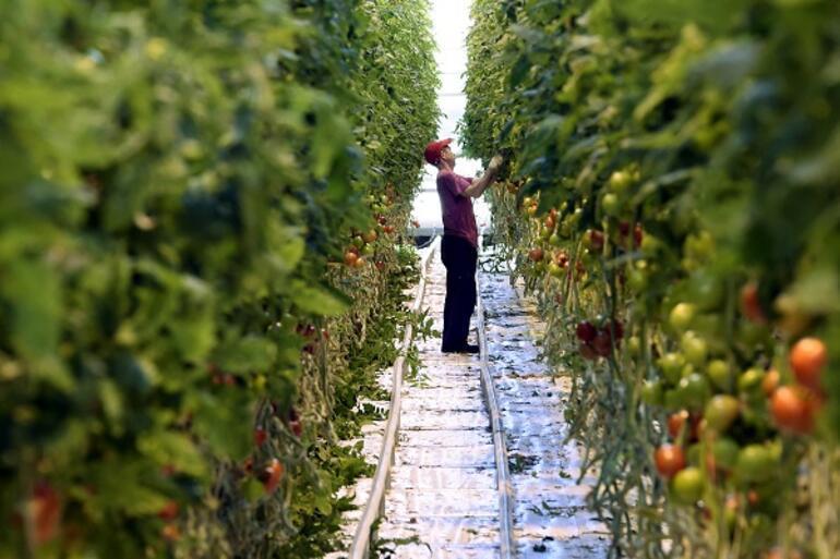 Rusya Türk domatesini neden almıyor İşte 3 maddede cevabı