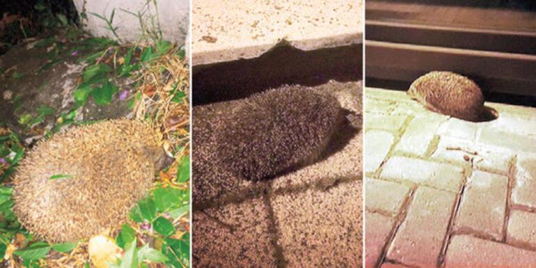İstanbulda sokakta görünür hale gelen kirpilerin sırrı ne