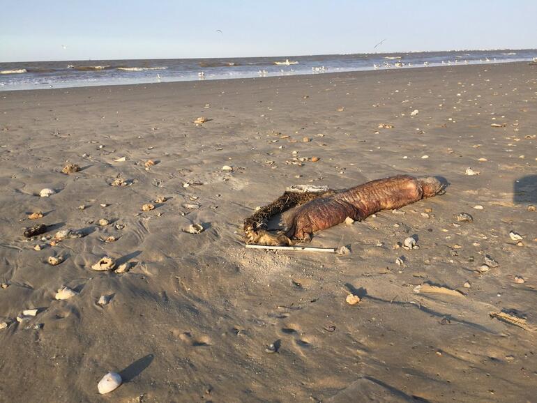Kasırgadan sonra sahile vurmuştu... Bu yaratık gizemli değil...