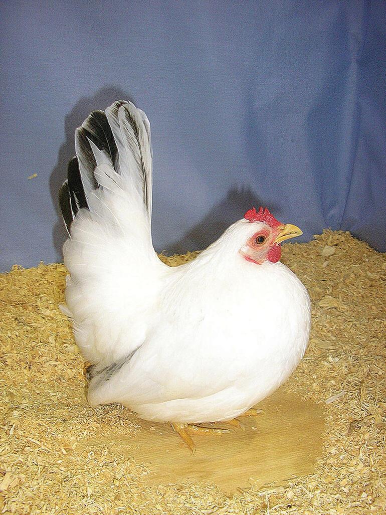 Japonlar tavuklara ucuz kanser ilacı yumurtlattı