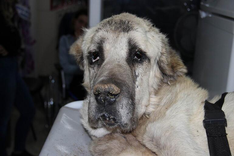Açlıktan ölmek üzere olan Kangal cinsi köpeğe yardım eli