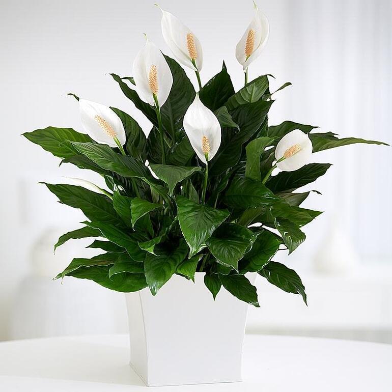 Evinize sağlık getirecek bitkiler