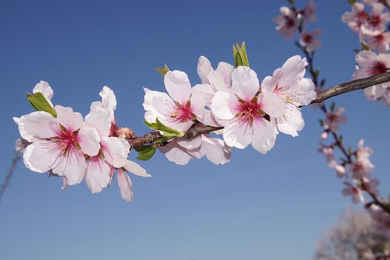 Datça'da bahar kapıları badem çiçekleriyle çalar