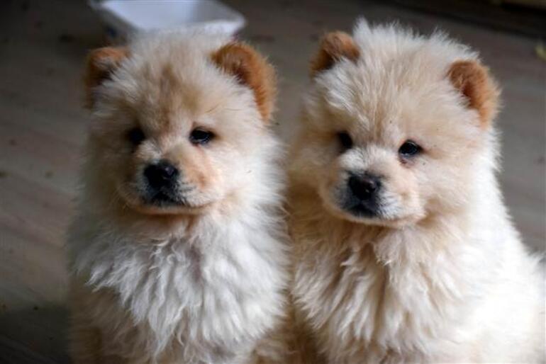 Onlar mal değil, can Yavru köpekler ihale ile satılacak