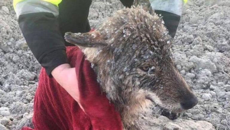 Buzlu sudan köpek sanıp  kurtardıkları hayvan kurt çıktı