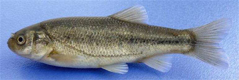 Salda Gölündeki endemik balık türleri tehlike altında