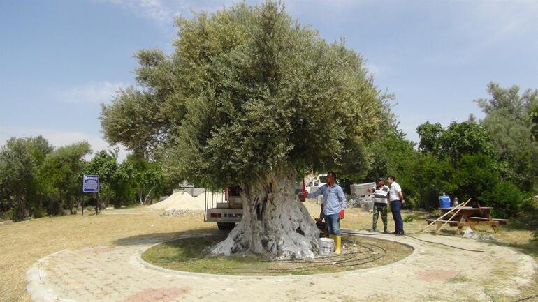 İşte Cumhurbaşkanı Erdoğanın bahsettiği o ağaç Tam 1300 yaşında...