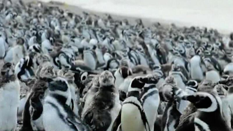 Milyonlarca penguen Arjantin sahilinde toplandı