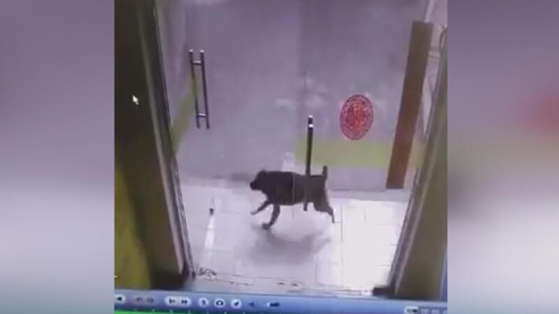 Sürpriz sonla biten kedi köpek kovalamacası
