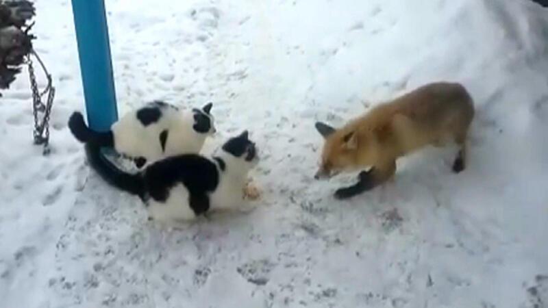 Tilkinin kedi ve kazla ekmek kapma mücadelesi