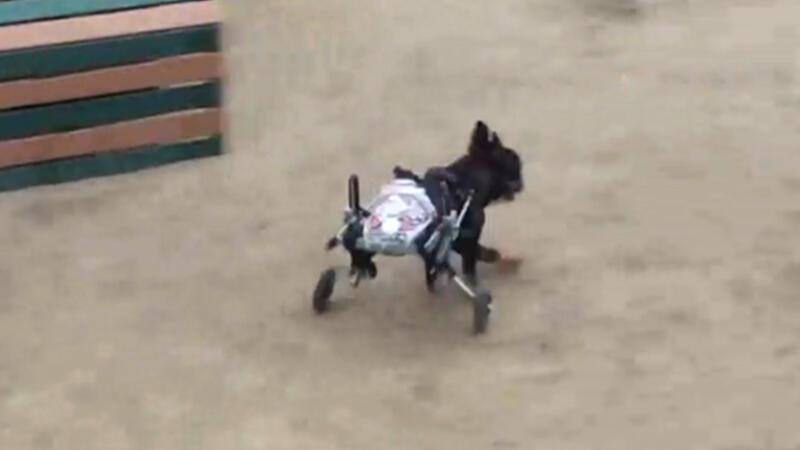 Felçli köpeğe 'tekerlekli' çözüm