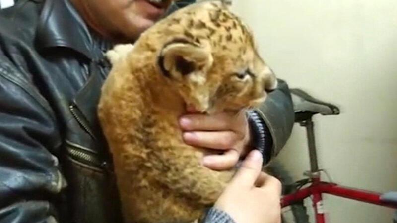 Ukrayna'dan Türkiye'ye yasa dışı yoldan aslan yavrusu götürmek isteyen Türk yakalandı