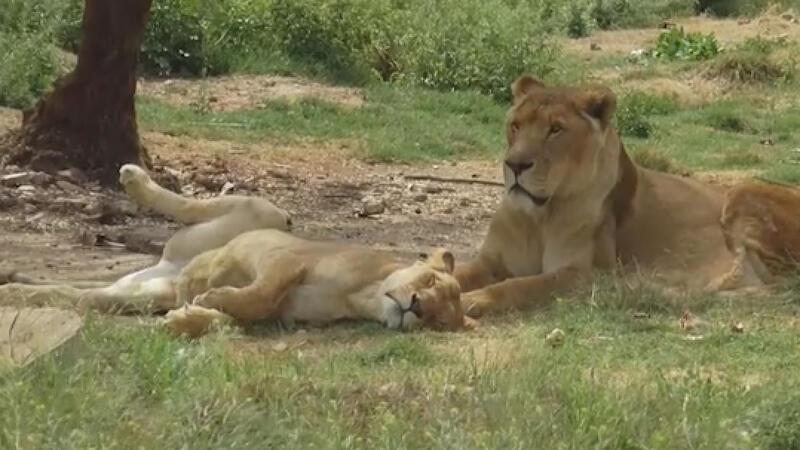 Udey Saddam'ın aslanları ayrıcalıklı günlerini arıyor