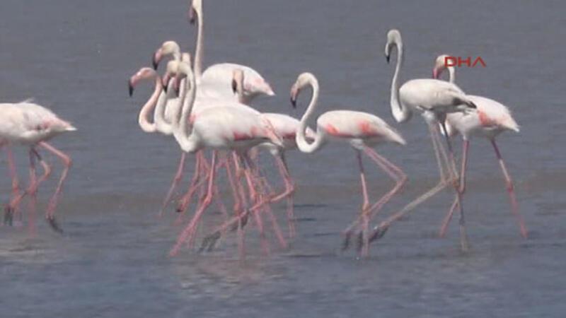 Bodrum'daki flamingoları dünya izleyecek