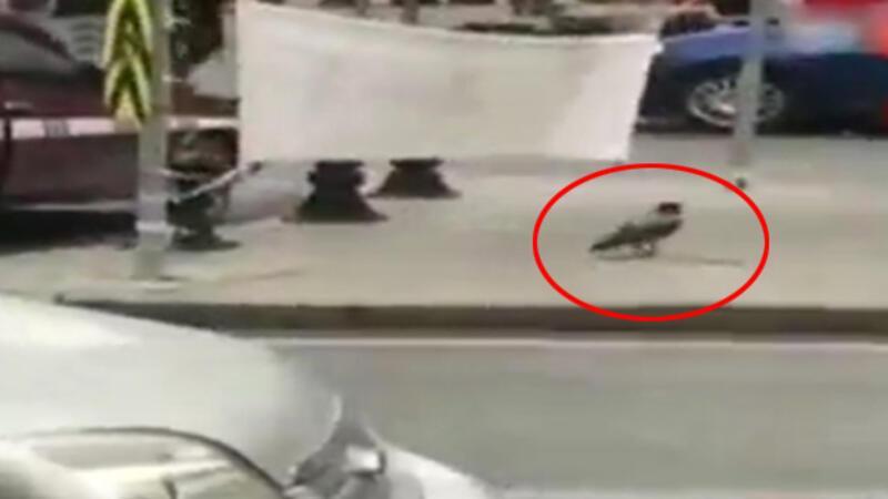 CHP'nin 'Hayır' afişini kesen karga çıktı