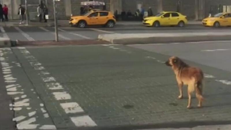 Stray dog fascinates with knowledge of traffic rules in Istanbul
