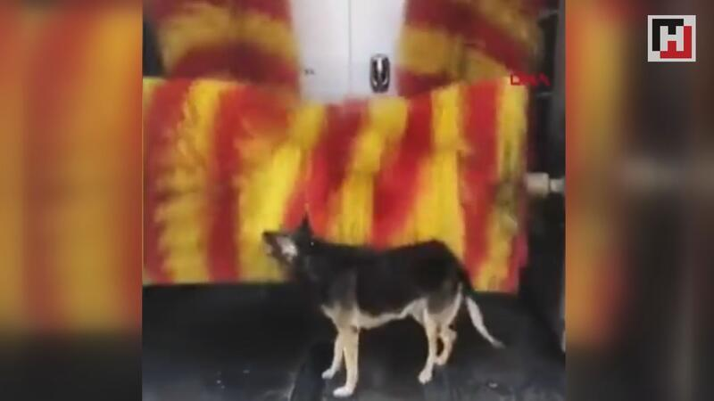 Stray dog Linda comes to same car wash for auto-petting in Turkey