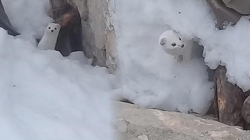 Turkish man manages to capture rare footage of ermine