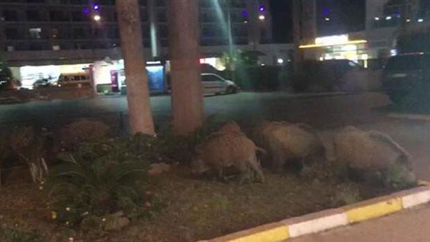 Aç kalan domuz sürüsü şehre indi