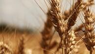 Çiftçiyi 'Sarı Cüce' hastalığı korkusu sardı