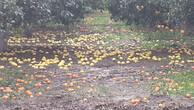 Dolu yağınca meyve bahçeleri hasar görü