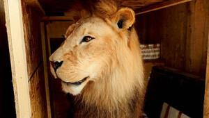 İçi doldurulmuş aslana gümrükte el konuldu