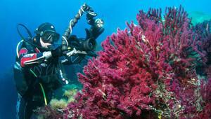 Ayvalık'ta sualtı dalışında kırmızı mercanların peşinde