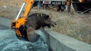 Çanakkale'de domuz seferberliği