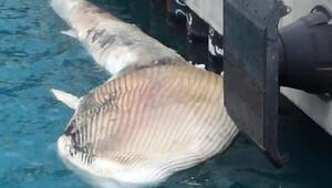 İskenderun'da ölü beyaz balina yavrusu
