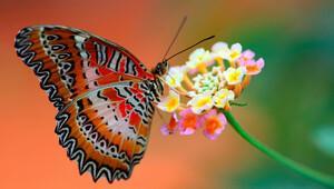 Kelebekler neden bu kadar renkli?