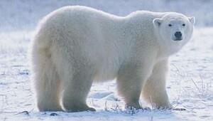 Kutup ayılarının solak oldukları doğru mu?